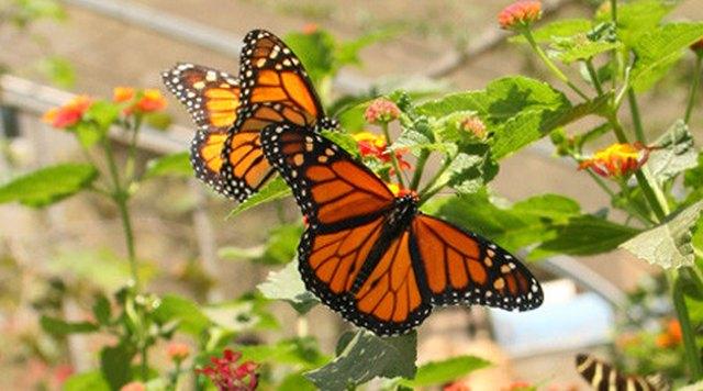 Επιστήμη: Οι πεταλούδες υπήρχαν πολύ πριν τα λουλούδια!